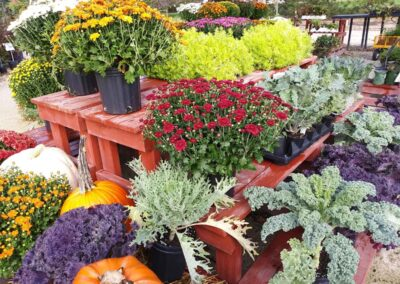 Fall Mums & Colorful Kale